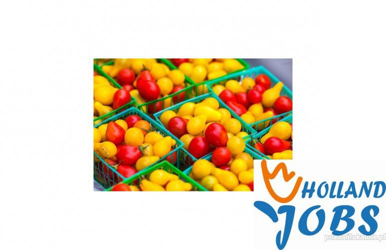 Praca w Holandii od zaraz! Pakowanie owoców